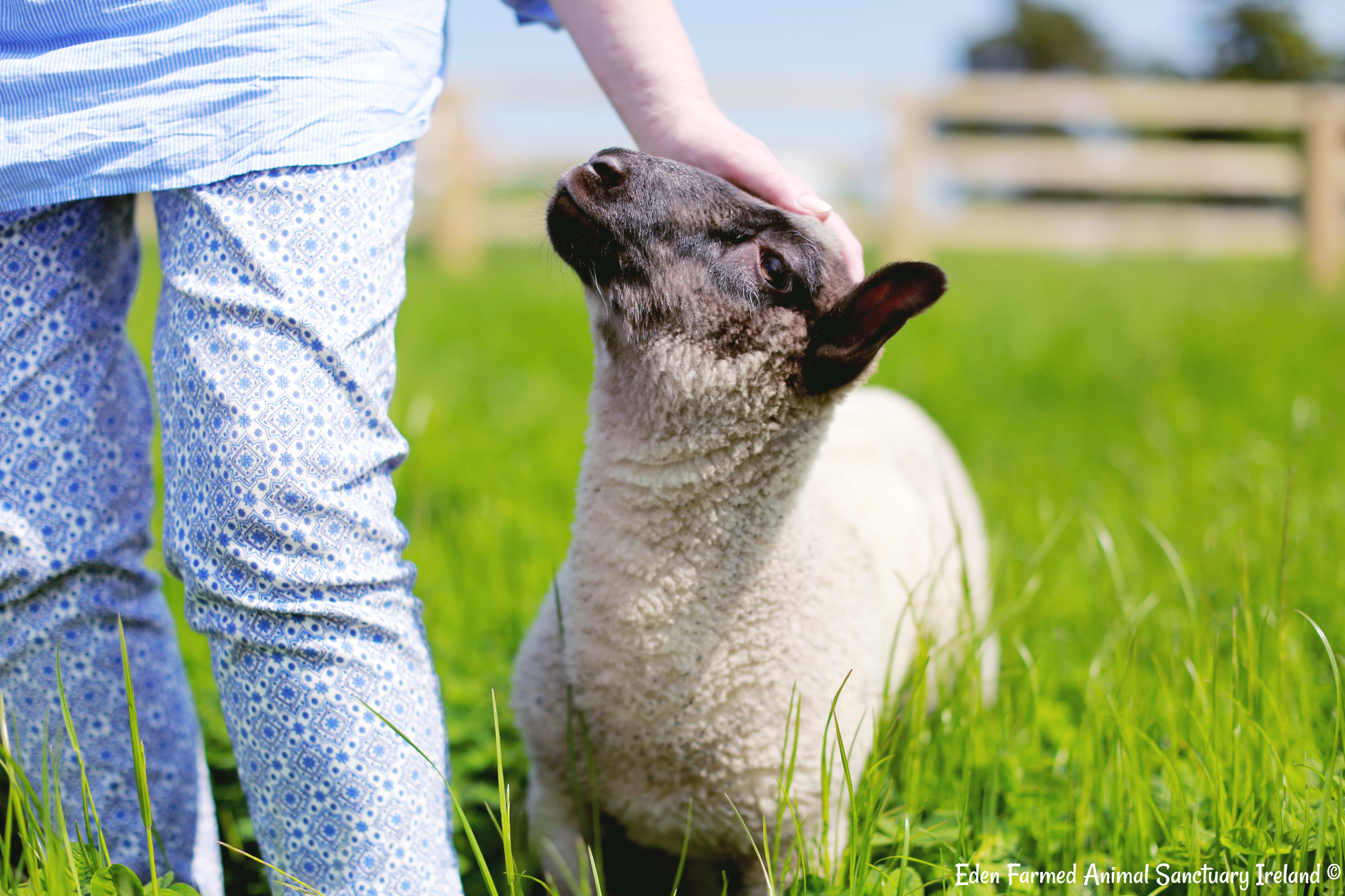 Rescued sheep Annie looking at Sandra - Eden Animal Farmed Animal Sanctuary in Ireland