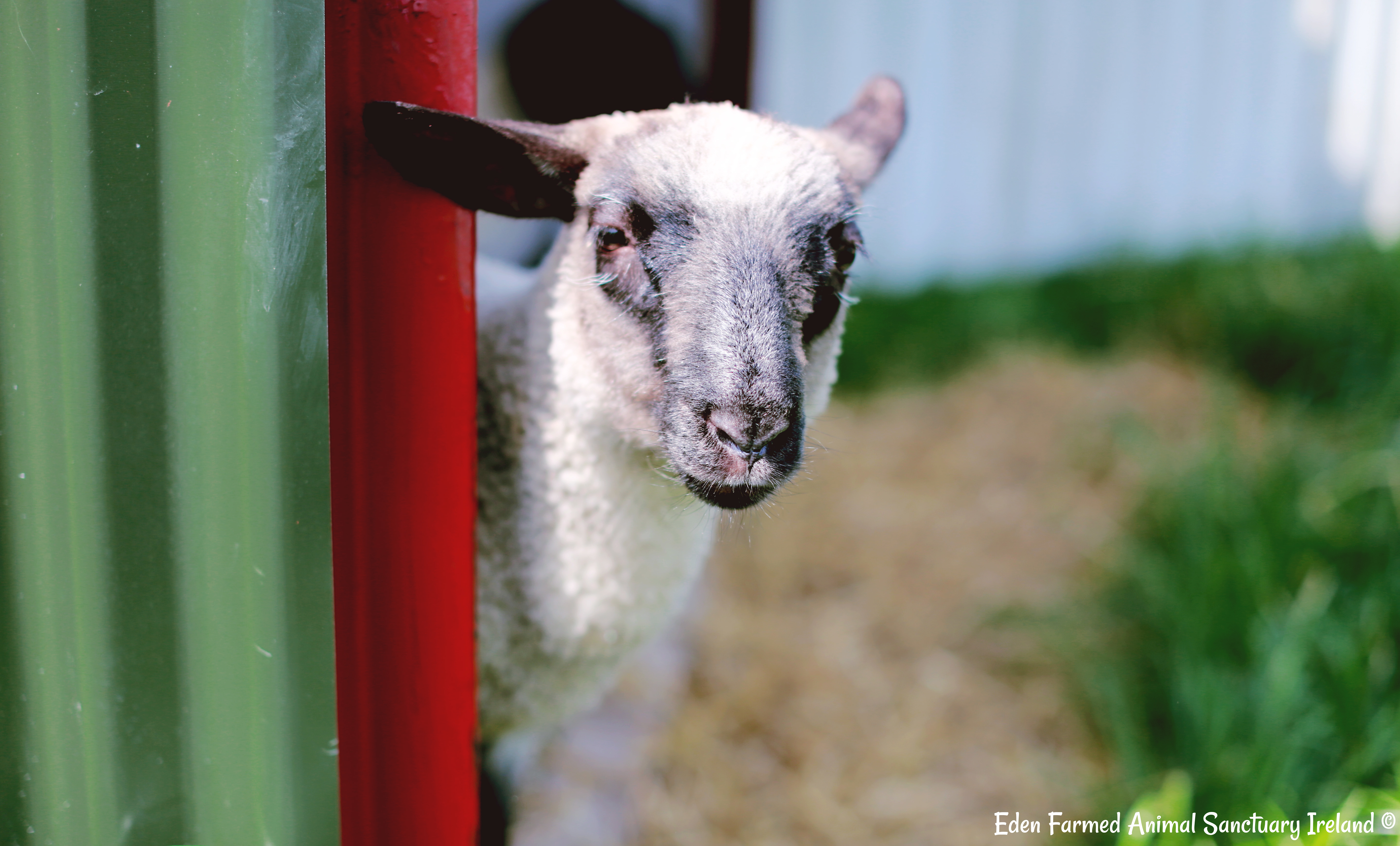 Rescued sheep Annie looking at you at Eden Farmed Animal Sanctuary in Ireland