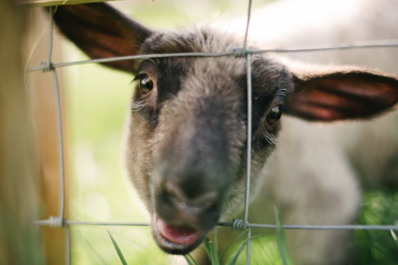 Rescued sheep Annie at Eden Farmed Animal Sanctuary in Ireland