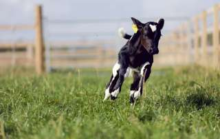 Cormac - First Cow at Eden Animal Farmed Sanctuary