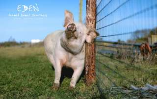 Nancy arrived at Eden in the Autumn of 2018. She had been used as a backyard breeding sow and was destined for slaughter.