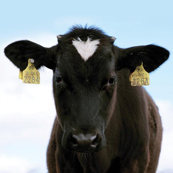 Cow Cormac portrait