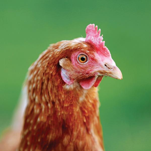 donation chicken implants