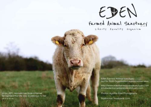 Eden Farmed Animal Sanctuary Calendar 2021 front cover showing cow standing on the middle of a field.